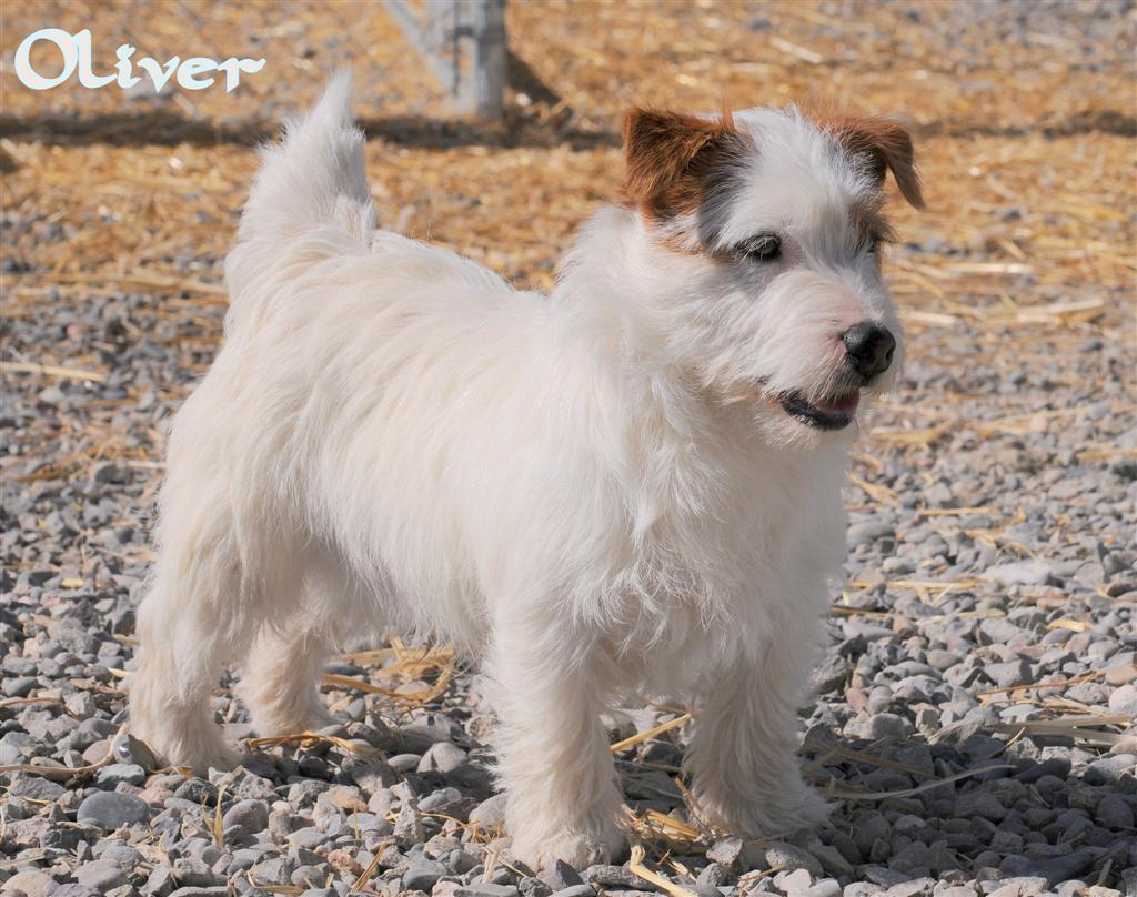 shorty jack russell terrier all about jack russells goldenacresdogs com 7331