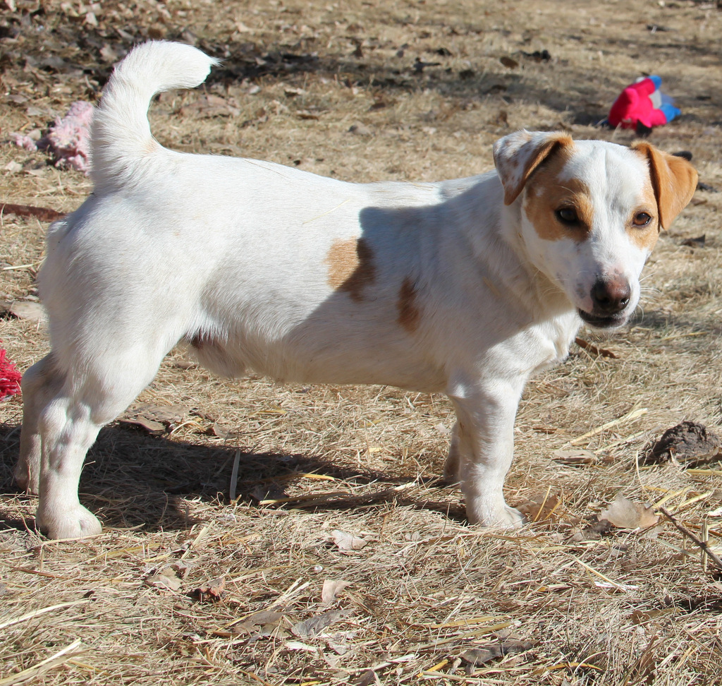 Shorty Jack Russell Terrier Of Colorado Shortie Jack