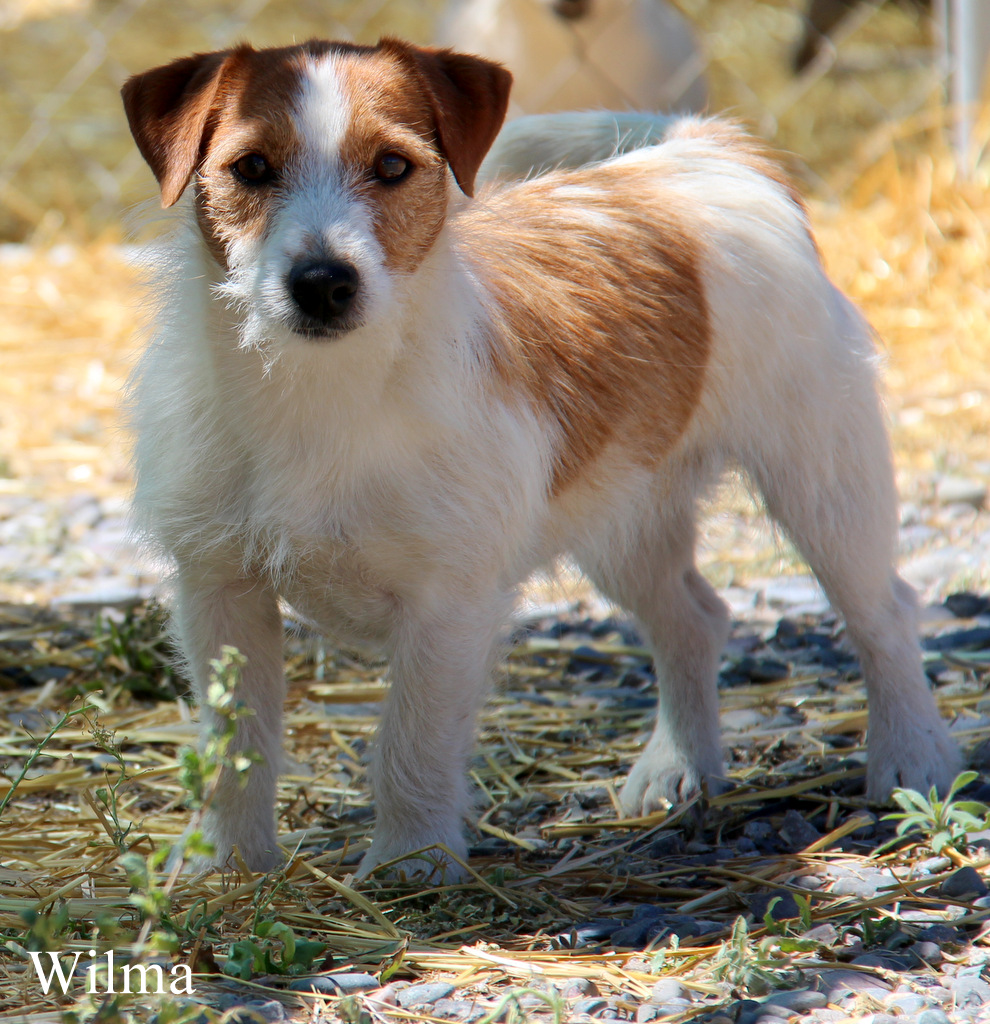 shorty jack russell terrier short legged jack russell terriers planned litters puddin 8926