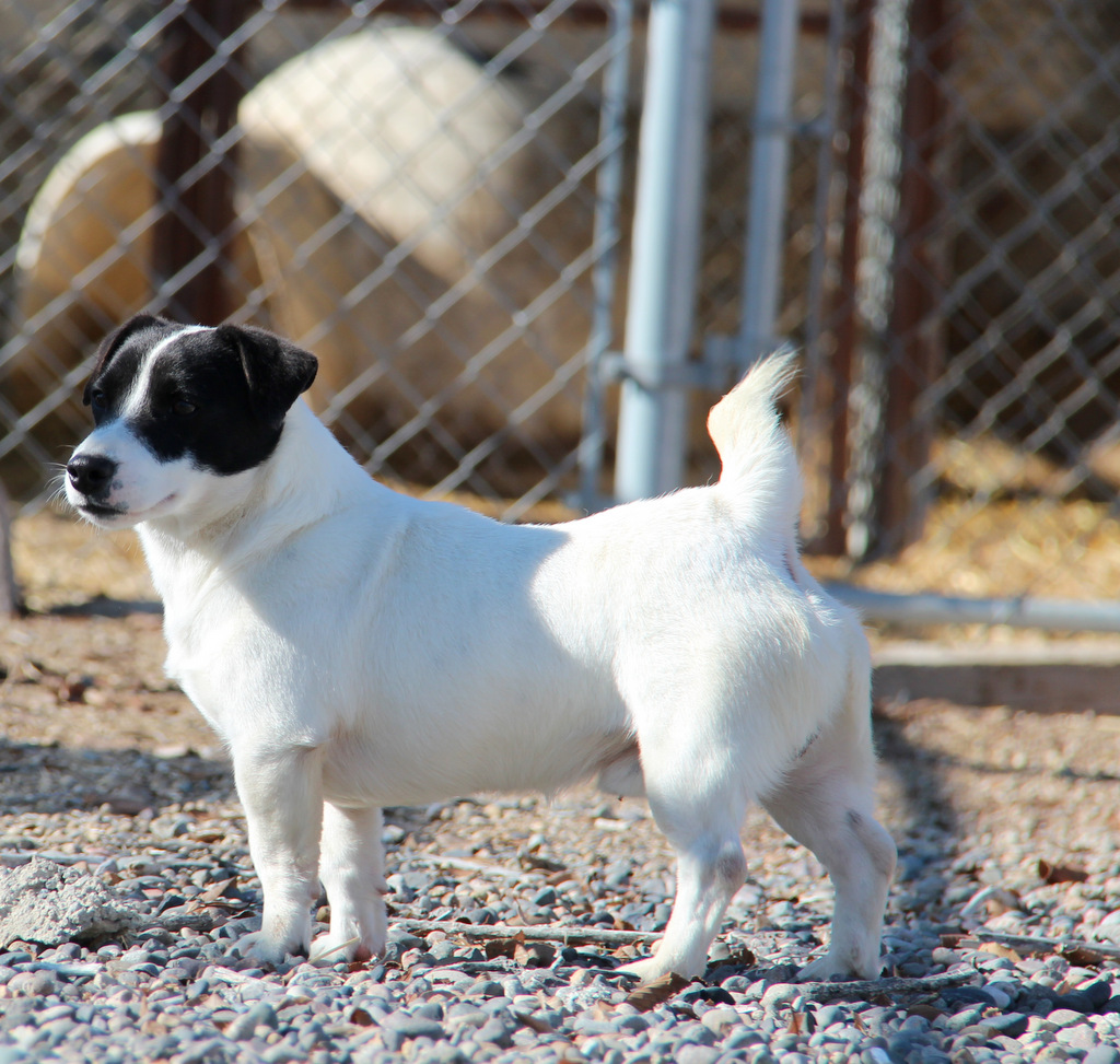 shorty jack russell terrier shorty jack russell terrier of colorado shortie jack 6142