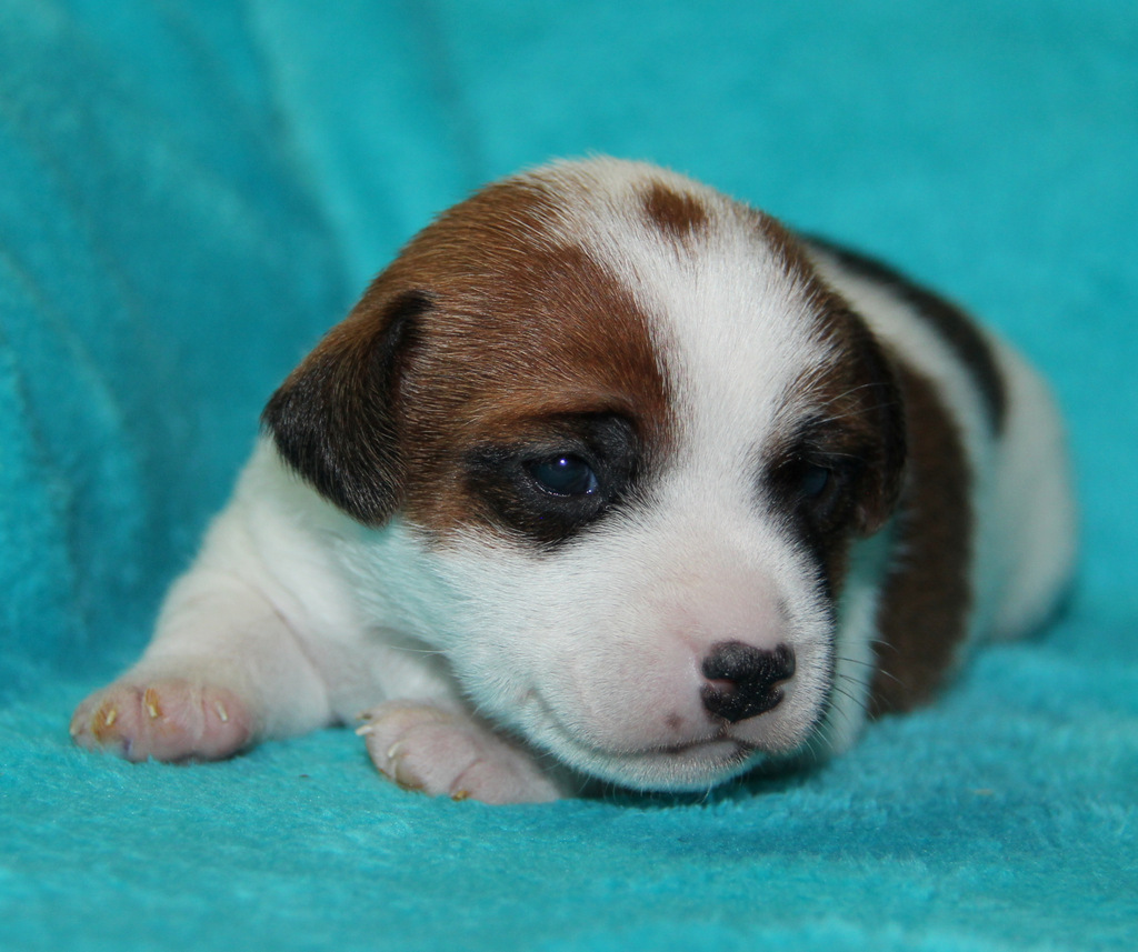 jack russell terrier puppies for sale irish jack russell tattoo design bild. Black Bedroom Furniture Sets. Home Design Ideas