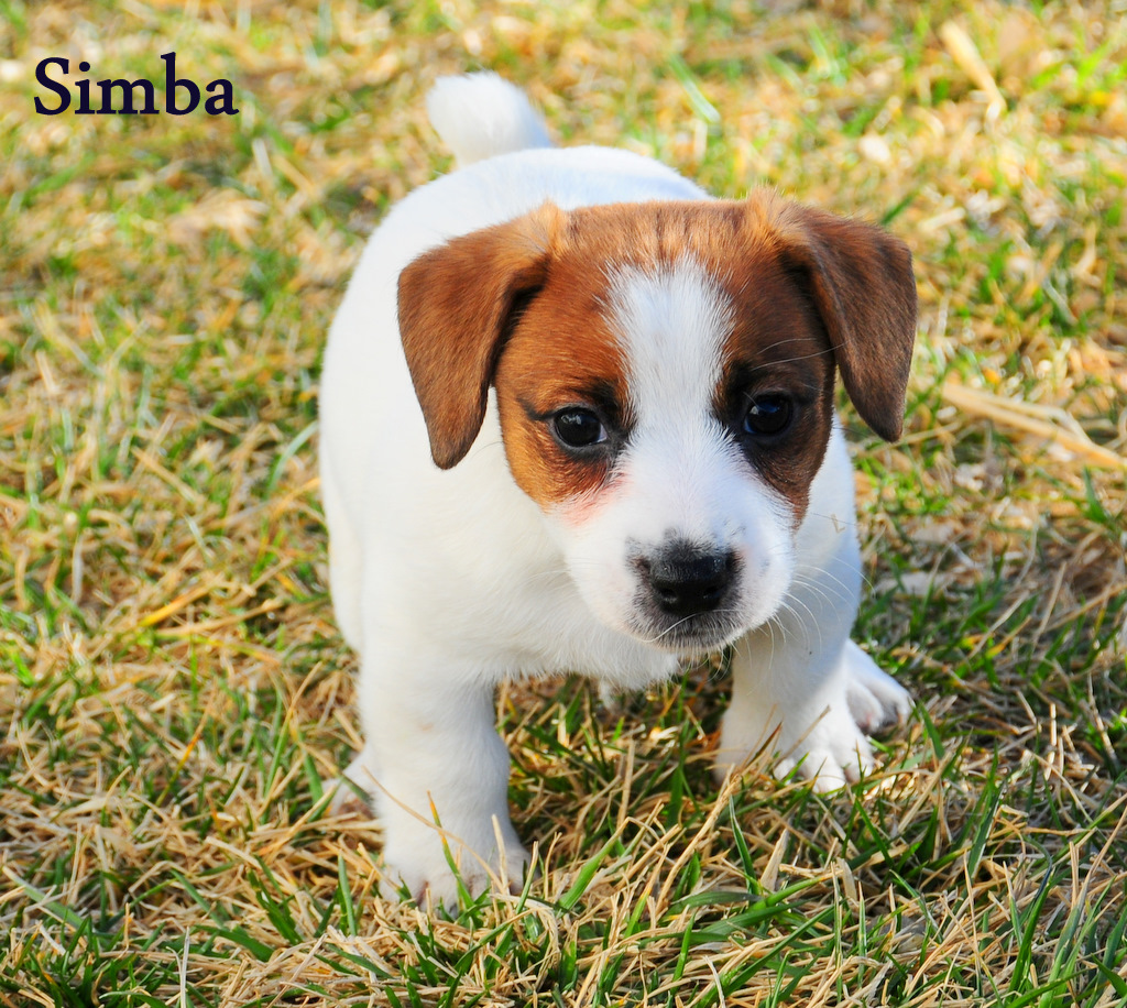 shorty jack russell terrier awesome quality shorty jack russell terrier puppies in 6981