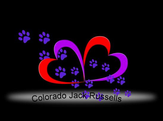 Short Jack Russell Terrier Puppies in Colorado