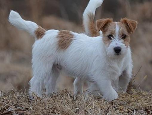 shorty jack russell terrier shorty jack russell terrier of colorado shortie jack 9667